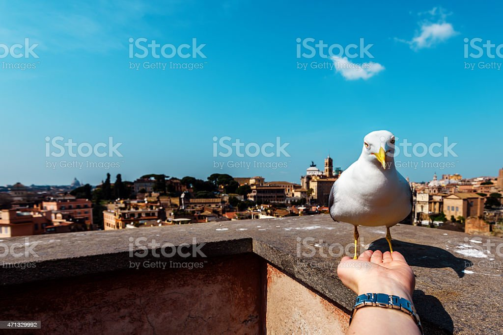 pigeon in woman hand stock photo