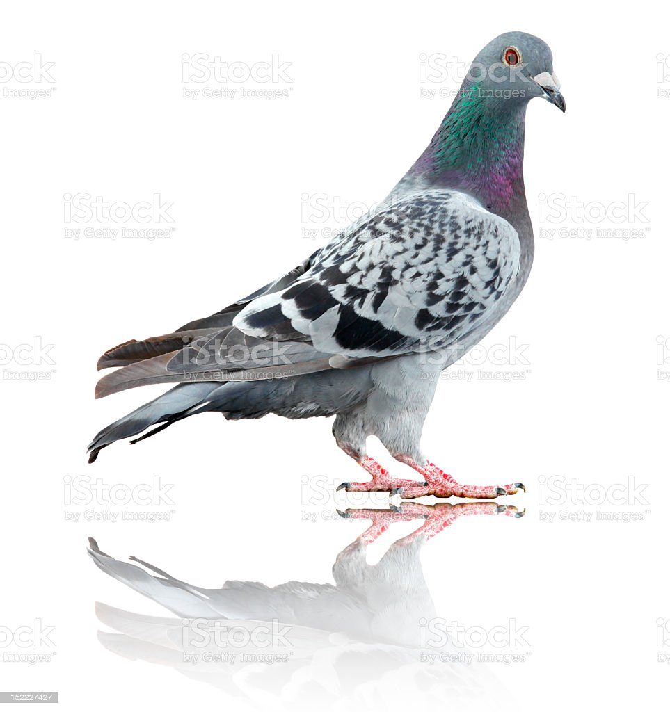 Pigeon isolated on white with reflection stock photo