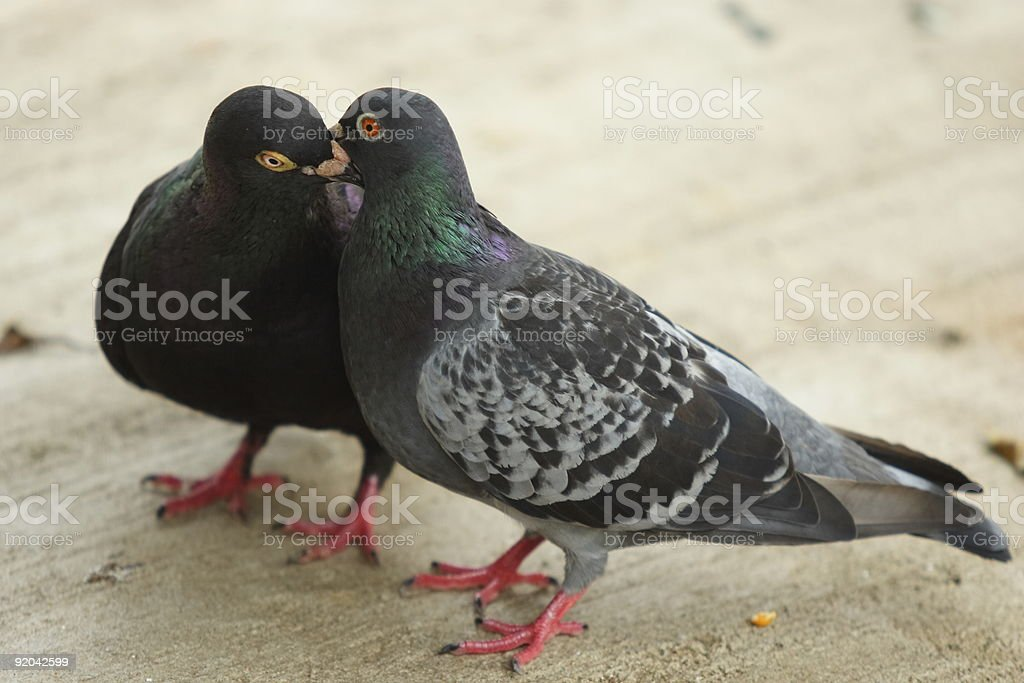 Pigeon Kissing royalty-free stock photo