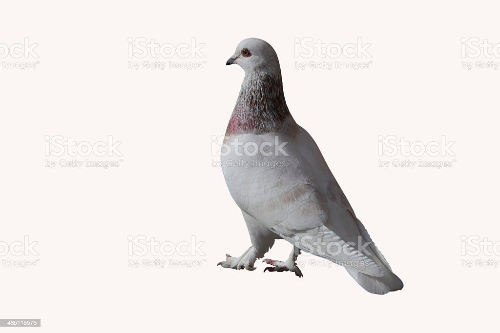 Pigeon Libanais royalty-free stock photo