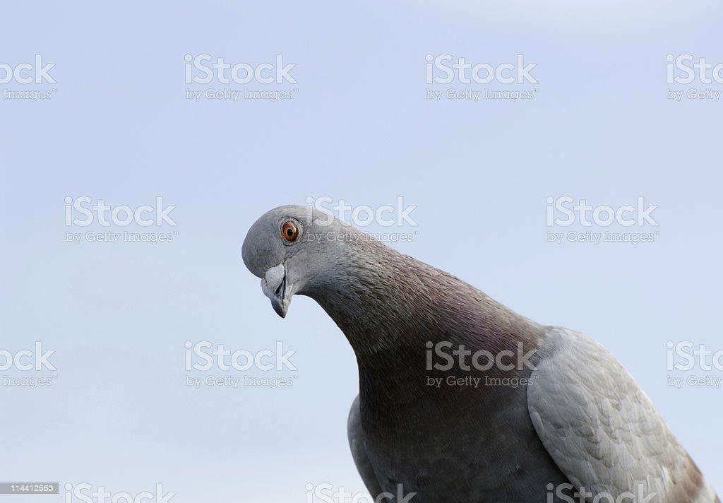 pigeon looking at camera stock photo