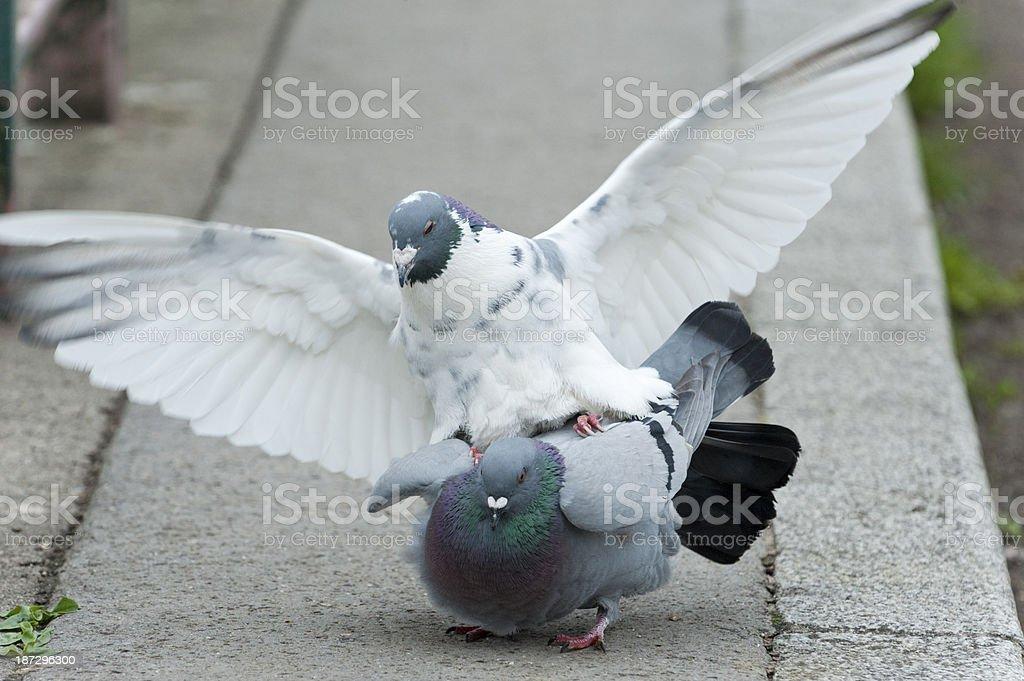 Pigeon (Columba livia forma domestica) mating stock photo