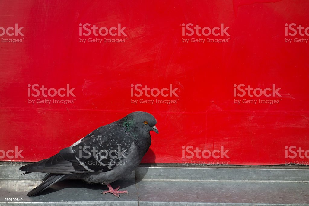 pigeon near a red wall stock photo