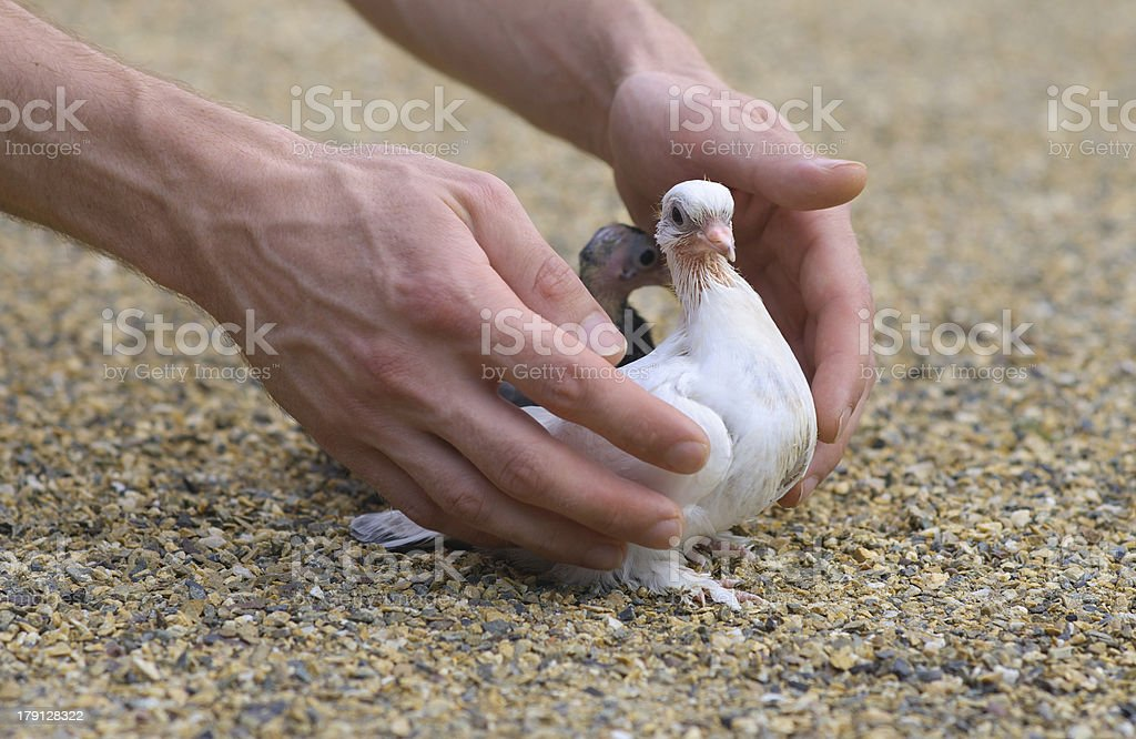 Pigeon Nestling Bird white on sand and Man Hands royalty-free stock photo