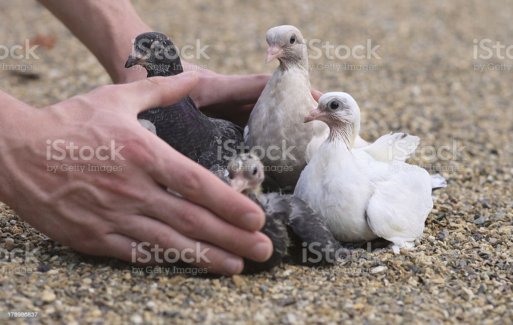 Pigeon Nestlings Birds on sand and Man Hands holding royalty-free stock photo