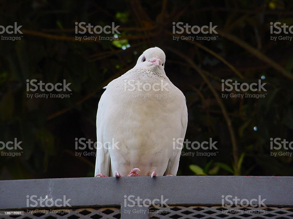 Pigeon on a railing royalty-free stock photo