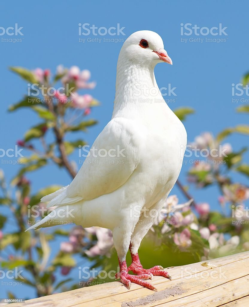 pigeon on flowering background stock photo