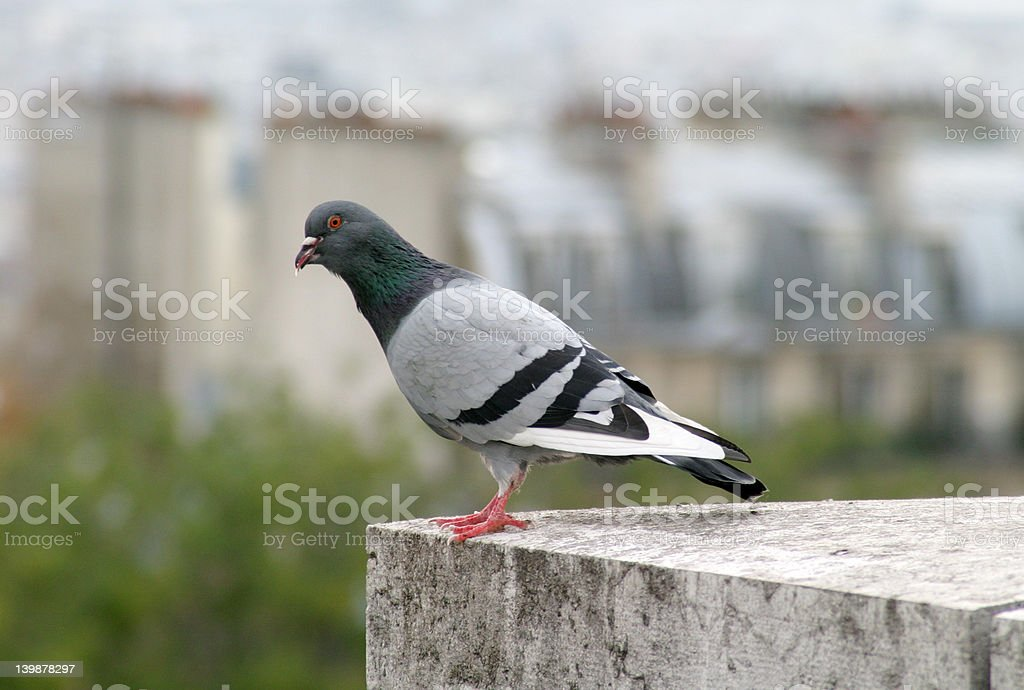 pigeon on ledge royalty-free stock photo