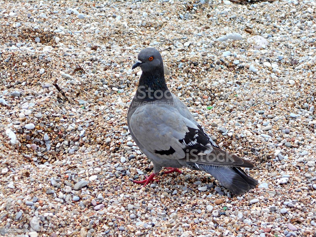 Pigeon on the sand stock photo