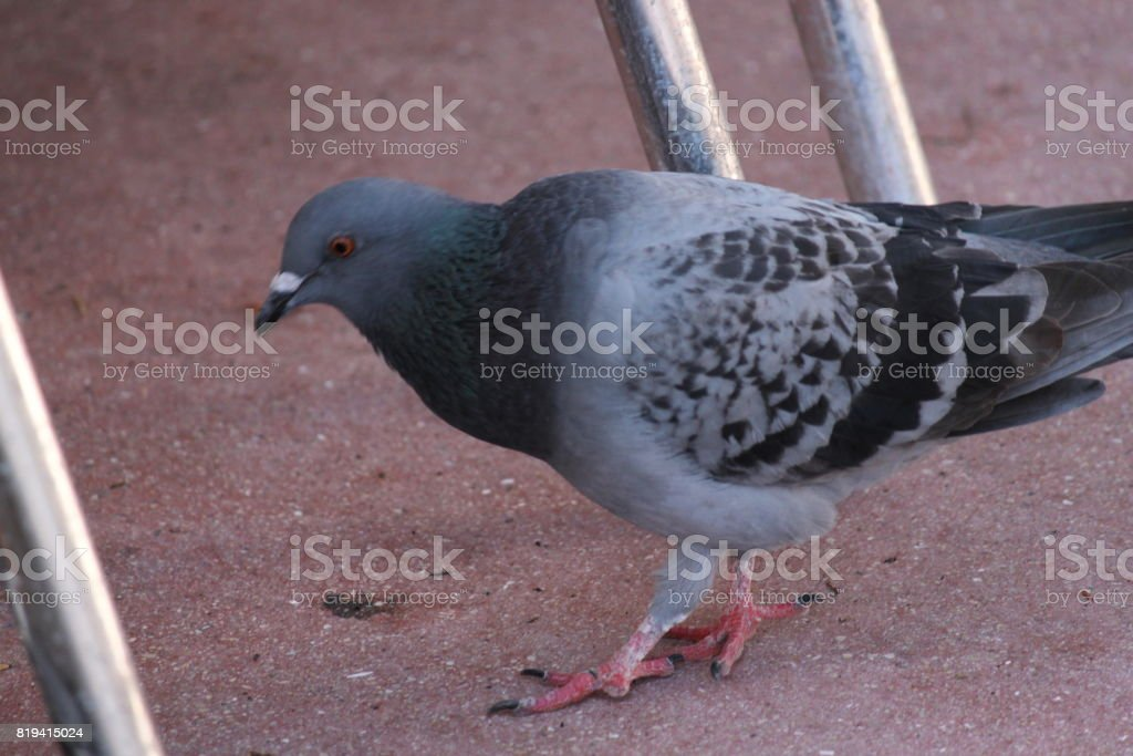 Pigeon on the sidewalk stock photo