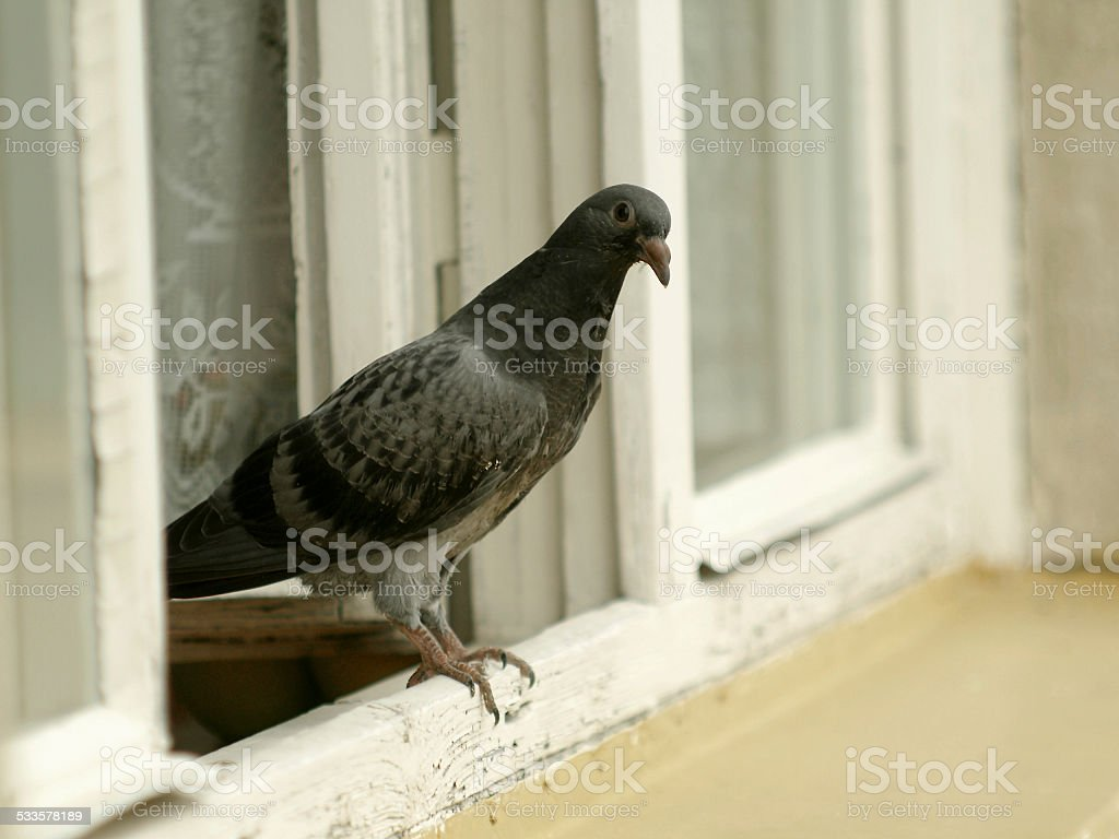 Pigeon on the window stock photo
