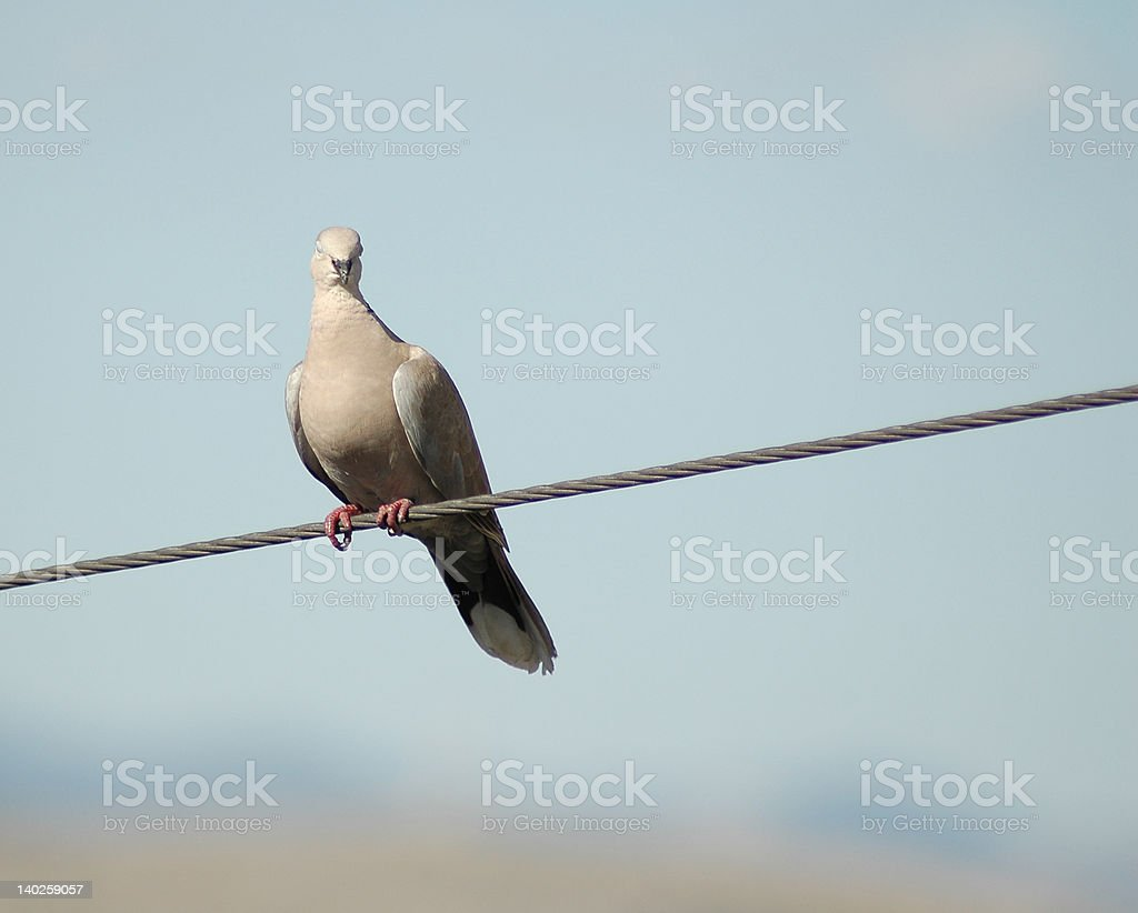 Pigeon on the wire stock photo