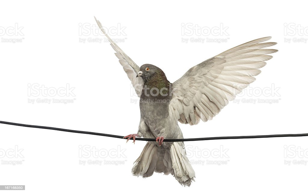 Pigeon perched on an electric wire with its wings spread royalty-free stock photo