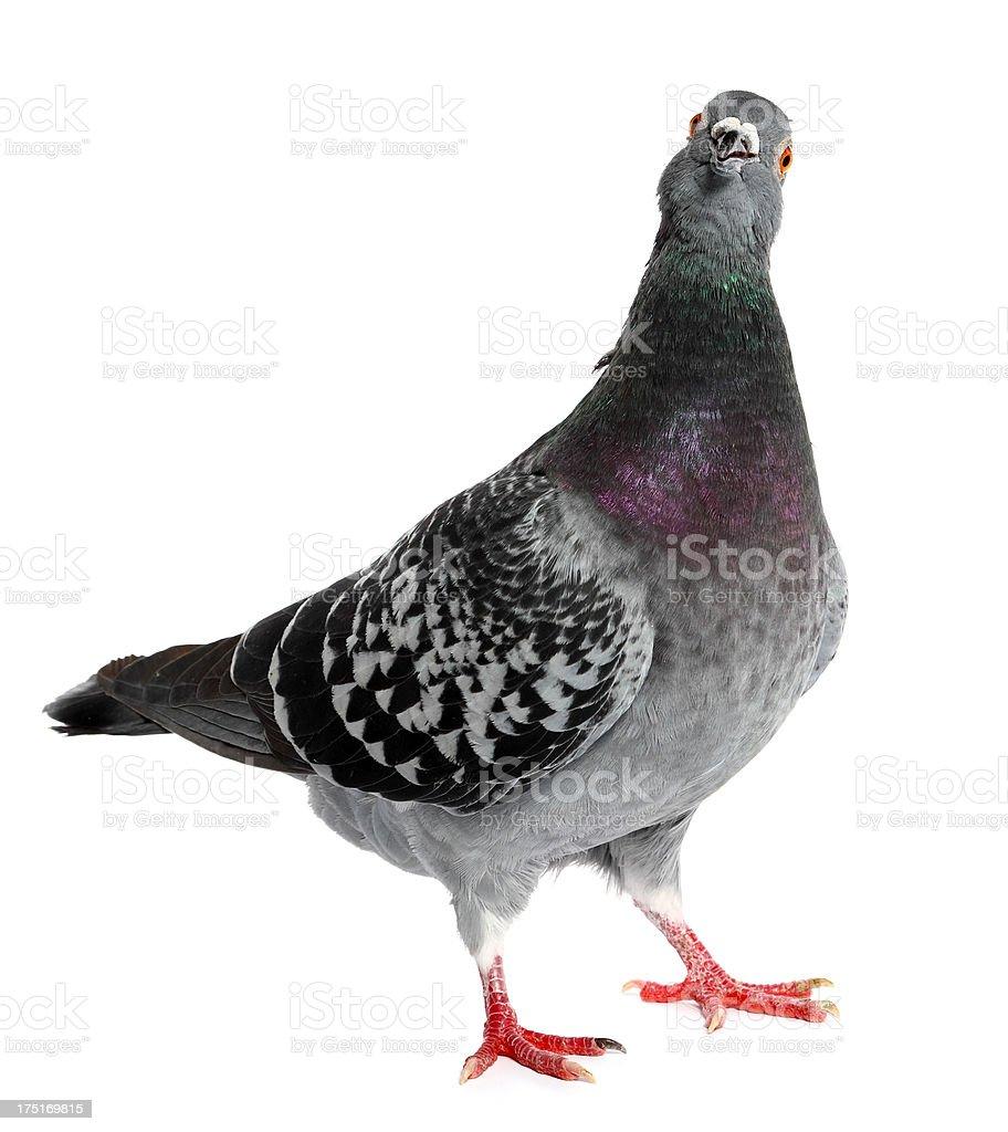 Pigeon stock photo