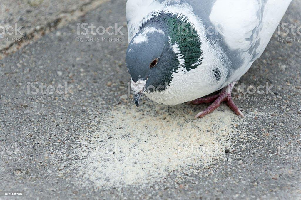 pigeon (Columba livia forma domestica) stock photo