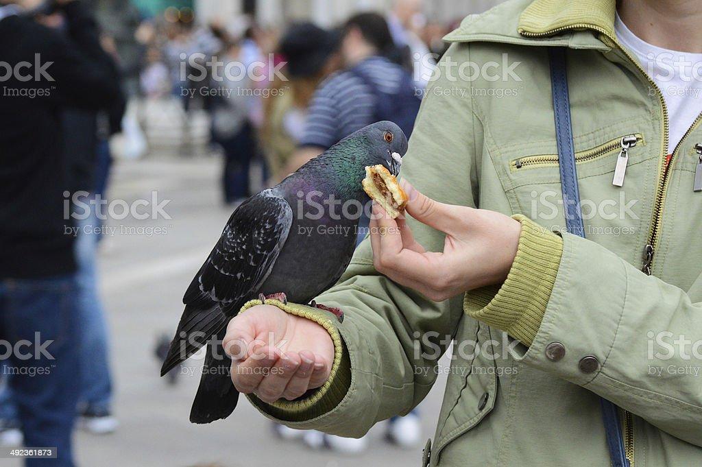 Pheasant ロイヤリティフリーストックフォト