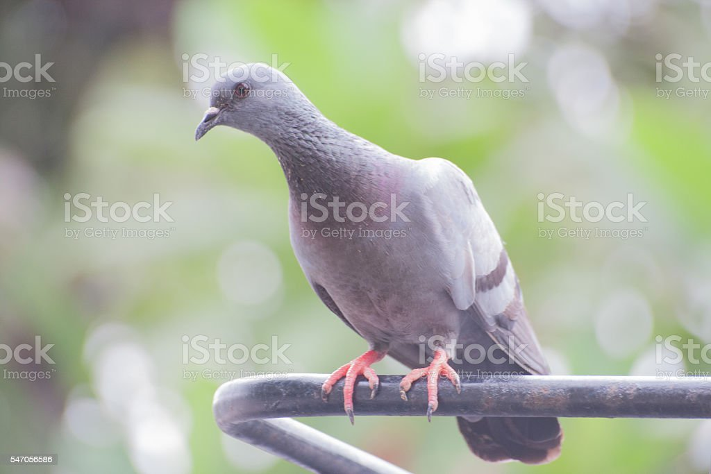 Pigeon (Columba livia) stock photo