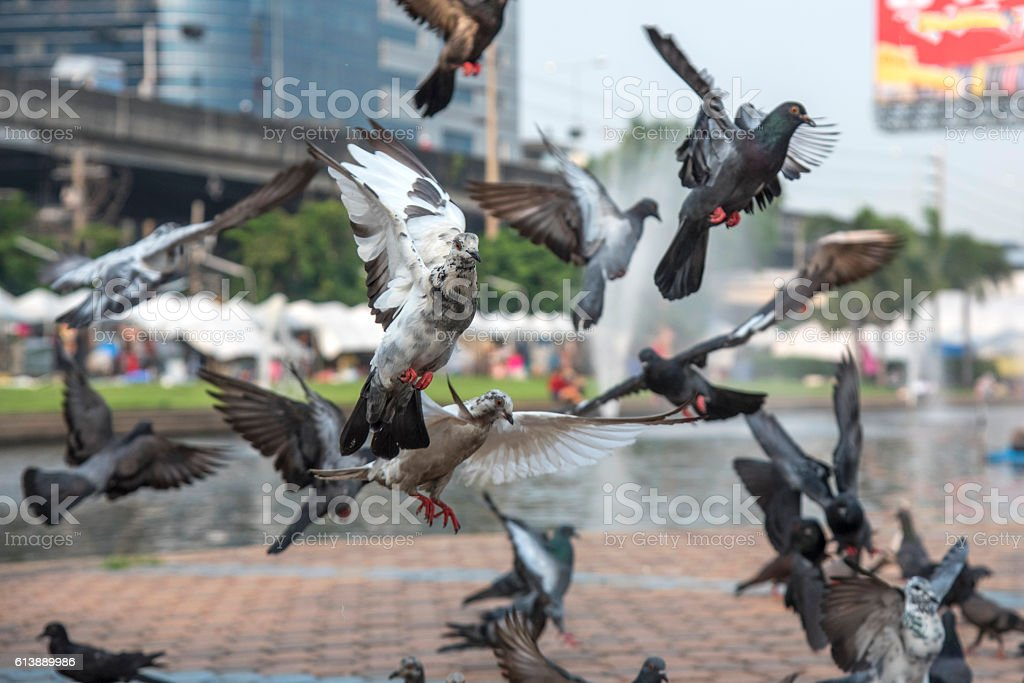 pigeon  photo libre de droits