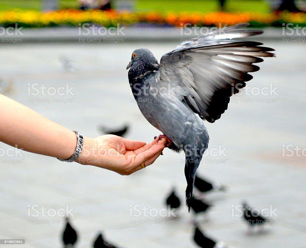 pigeon  foto de stock libre de derechos
