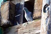 Pigeon playing peekaboo on wharf pilings