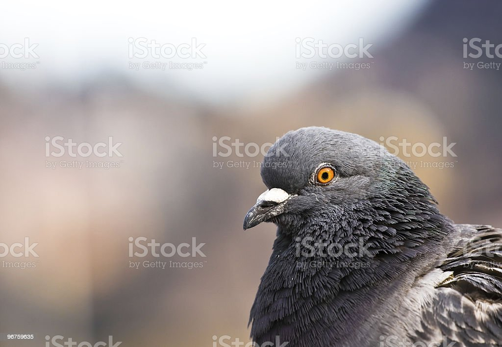 Pigeon portrait royalty-free stock photo