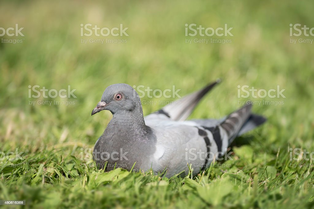Pigeon resting in grass in summer stock photo