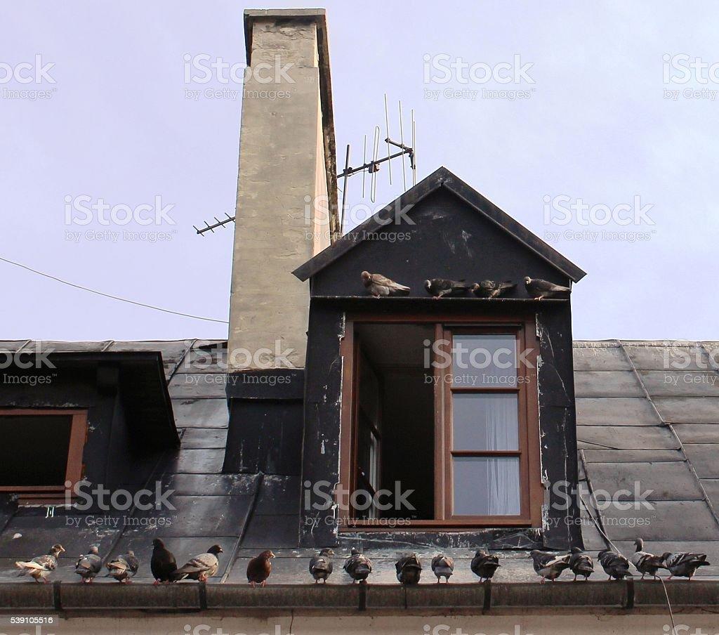 pigeon row stock photo