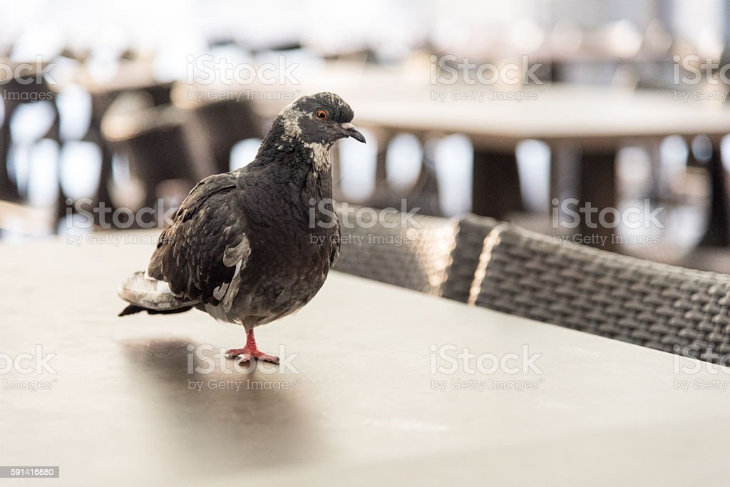 Pigeon standing on just one leg stock photo