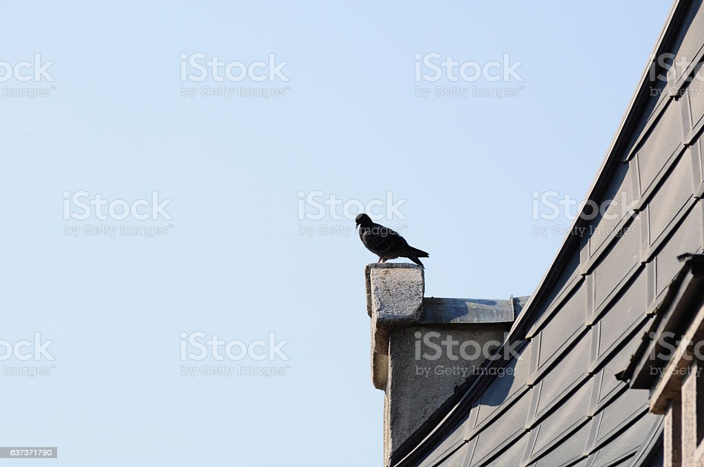 Pigeon standing on top of house as symbol of freedom stock photo
