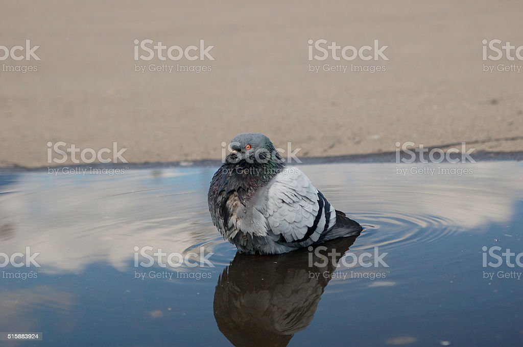 pigeon washes himself in the puddle stock photo