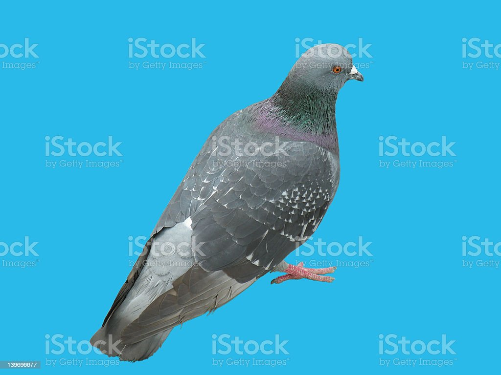 Pigeon without backgrourd stock photo