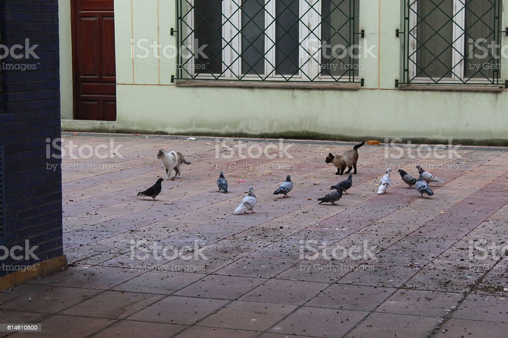 Pigeons and cats. stock photo