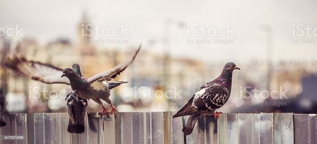 pigeons and galata districh stock photo
