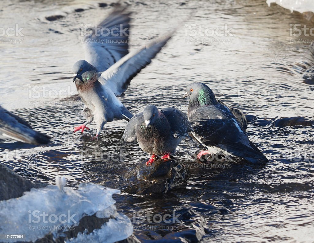 Pigeons bathe in the river stock photo