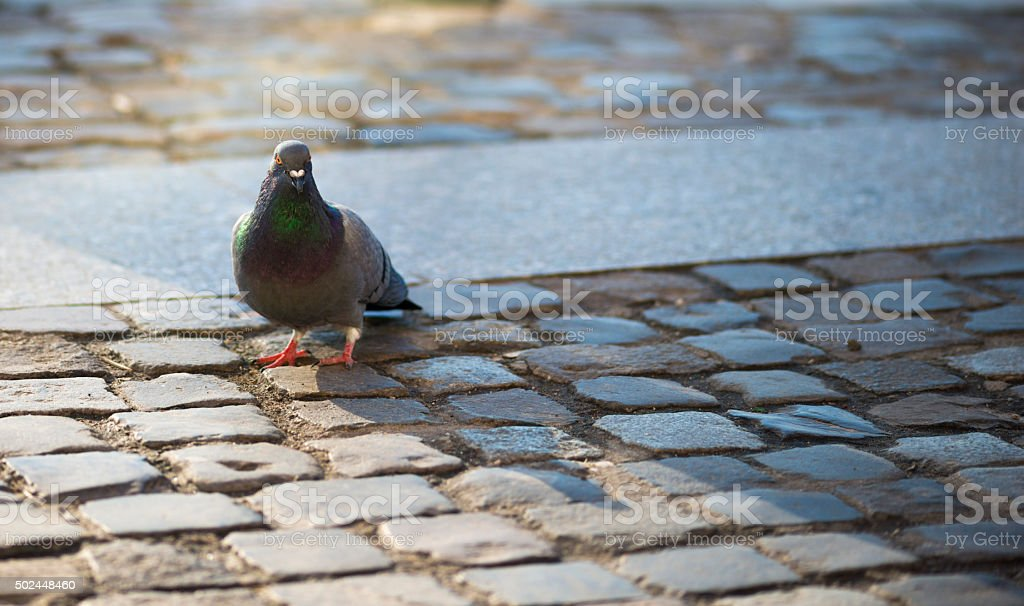 Pigeons close up at Council Square in downtown of Brasov stock photo