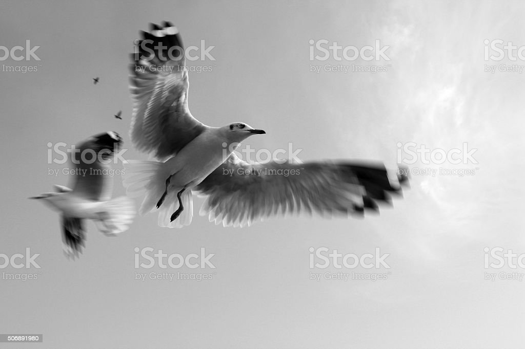 Pigeons / Dove in sky black and white stock photo