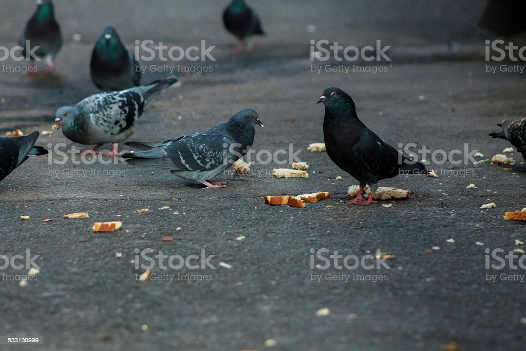 Pigeons Eating Bread stock photo