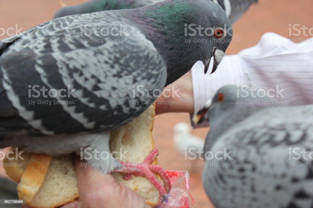 Pigeons Eating stock photo