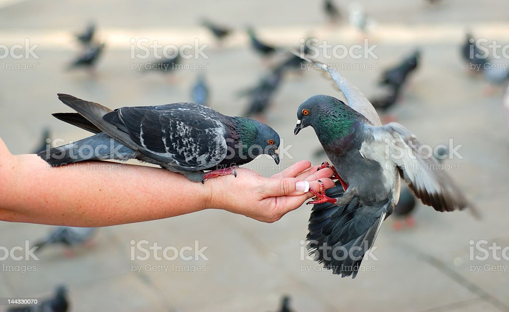 Pigeons Feeding and Balancing on Woman's Hand in St. Mark's royalty-free stock photo