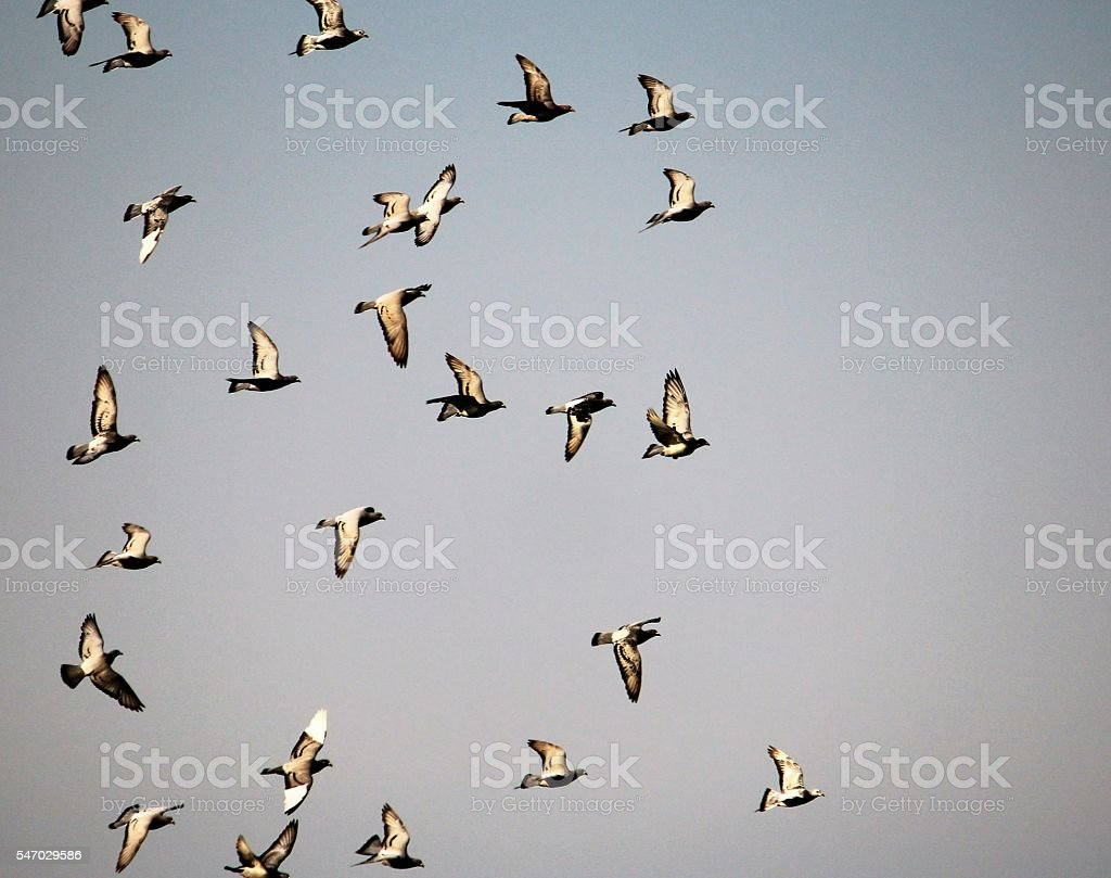 Pigeons Flying stock photo
