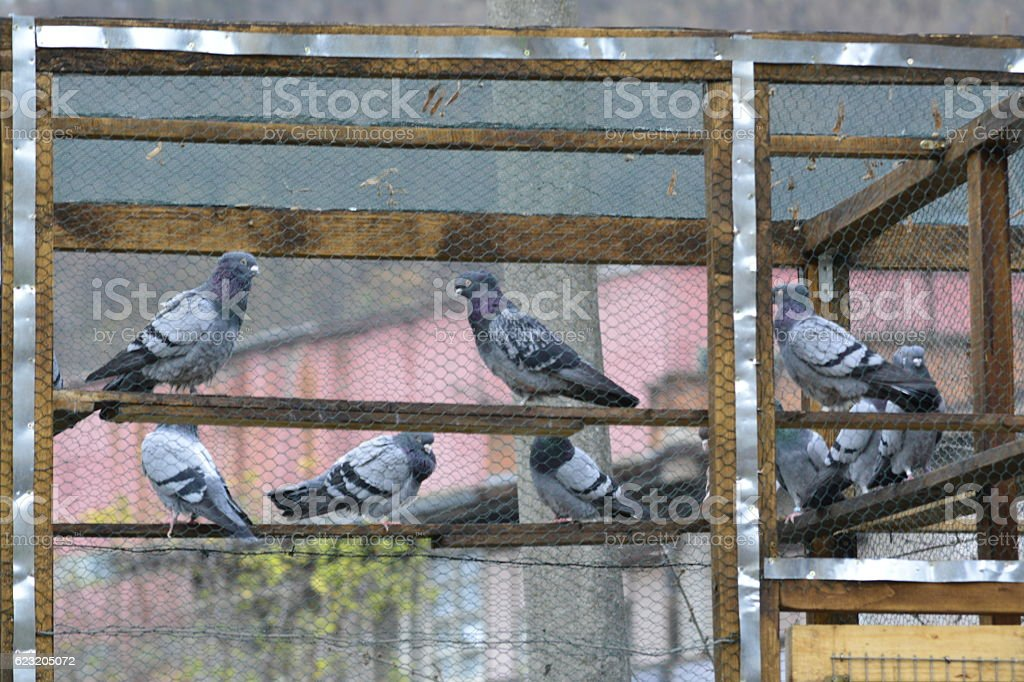 pigeons in a cage stock photo