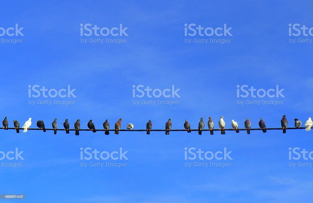 pigeons in a line stock photo