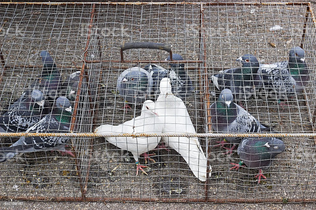 pigeons in cages on display stock photo