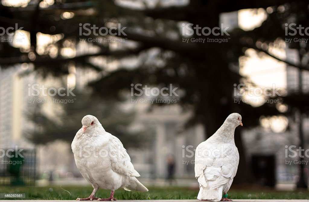 pigeons in city square royalty-free stock photo