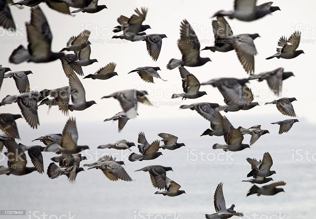 Pigeons in flight royalty-free stock photo