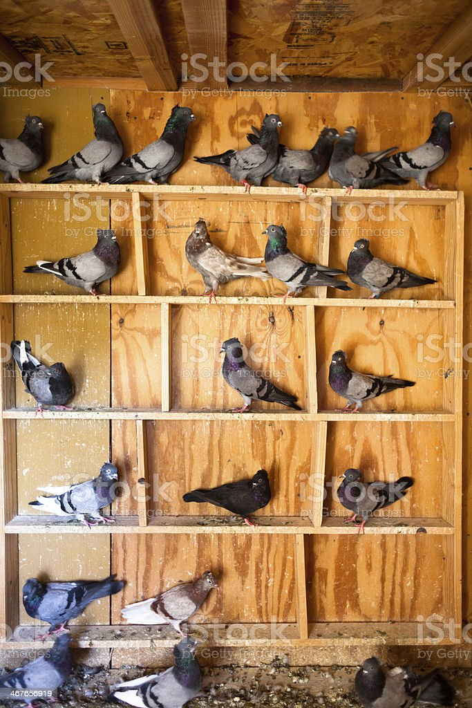 Pigeons in Pigeon Holes stock photo