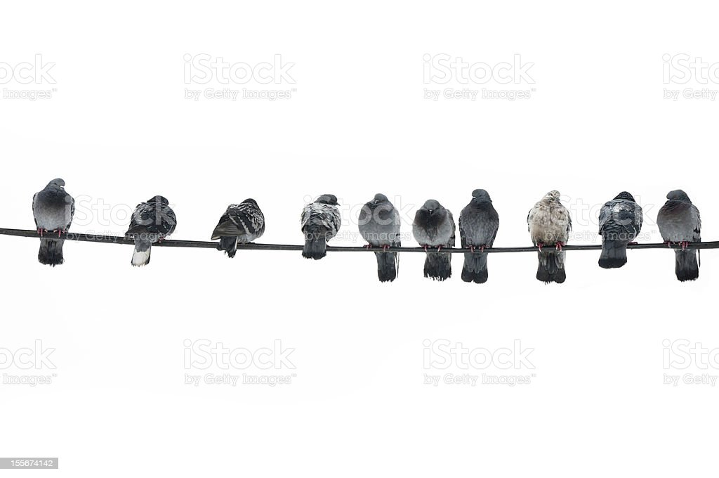 Pigeons isolated with cliping path stock photo
