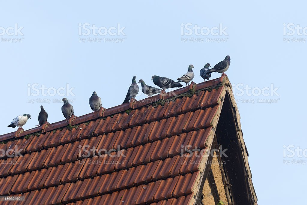 Pigeons on a crest stock photo