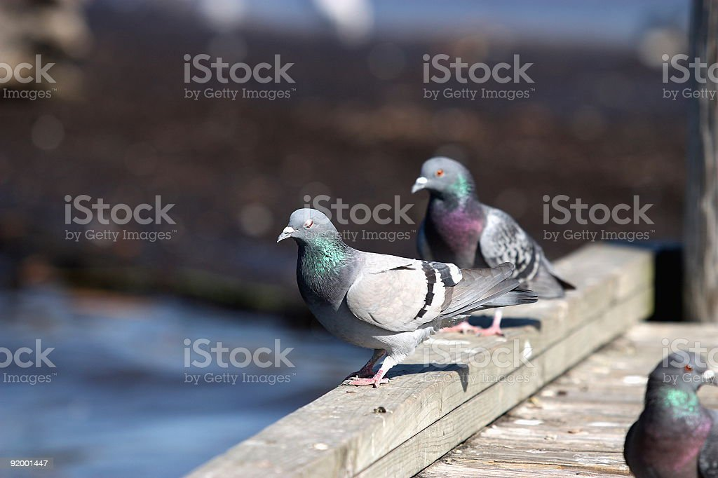 Pigeons on a Pier stock photo