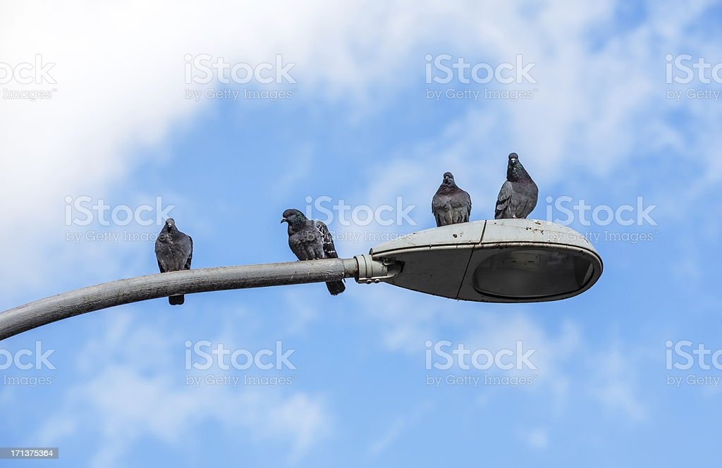 Pigeons on a street light  in Rome, Italy royalty-free stock photo